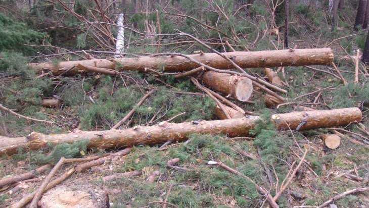 Замерзшие жители брянской Ржаницы пустили на дрова три сосны