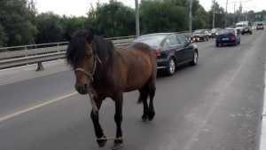 В Брянске из-за стреноженной лошади на мосту создалась пробка