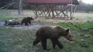 В фотоловушку «Брянского леса» попали два очаровательных медвежонка