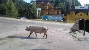 В Брянске на инспекцию дорог вышли неукротимая свинья и корова
