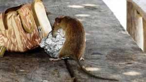 В Брянске рассказали о бегающих по детской площадке крысах