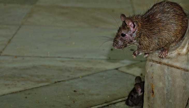 Жители Брянска попросили спасти детские площадки от крыс