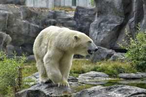 Англичане поразились бесстрашию русской женщины в схватке с медведем