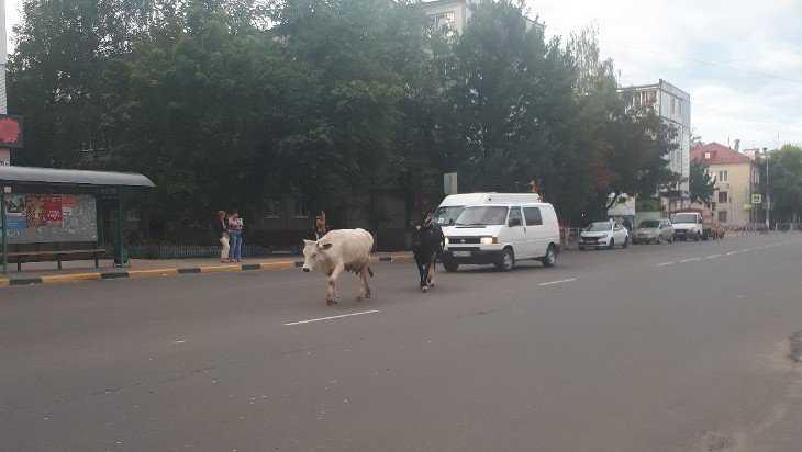 Брянская Новостройка напомнила об Индии коровами на дороге