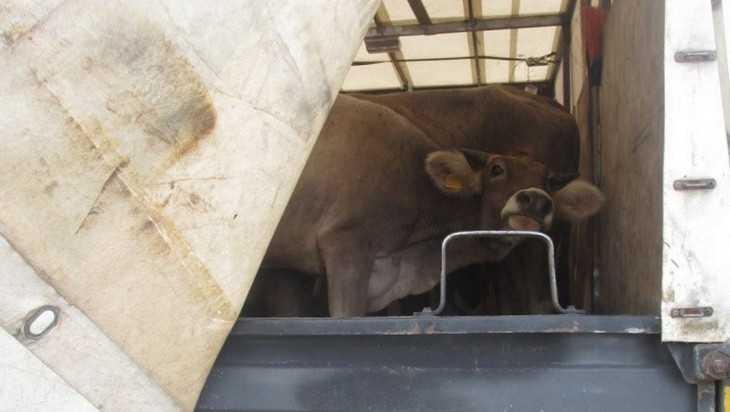 В Брянской области задержали два грузовика с мычащим грузом