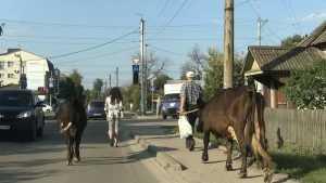На улицы Брянска вышли священные коровы