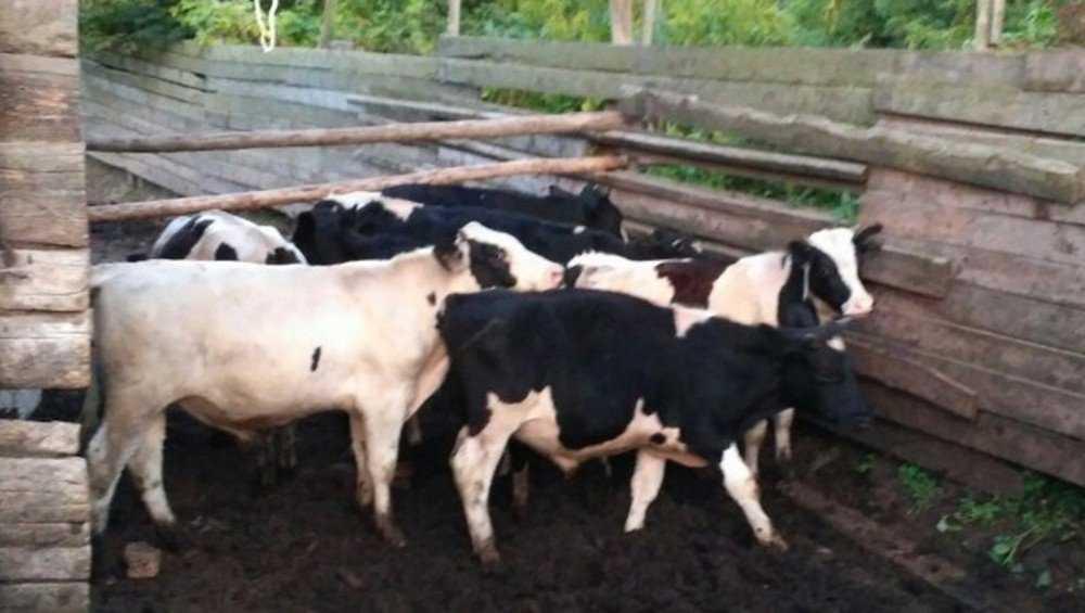 В Брянской области ветеринары запретили перевозку стада коров