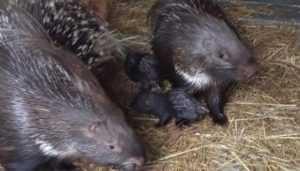В зоопарке Брянска появились на свет два дикобраза