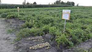 Жителей Брянской области предупредили об опасном заболевании картофеля