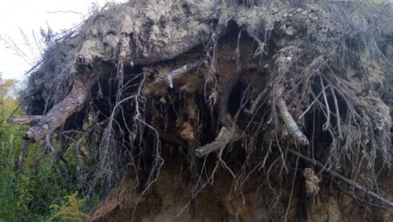 В Брянске начали варварски уничтожать березы на Карачиже