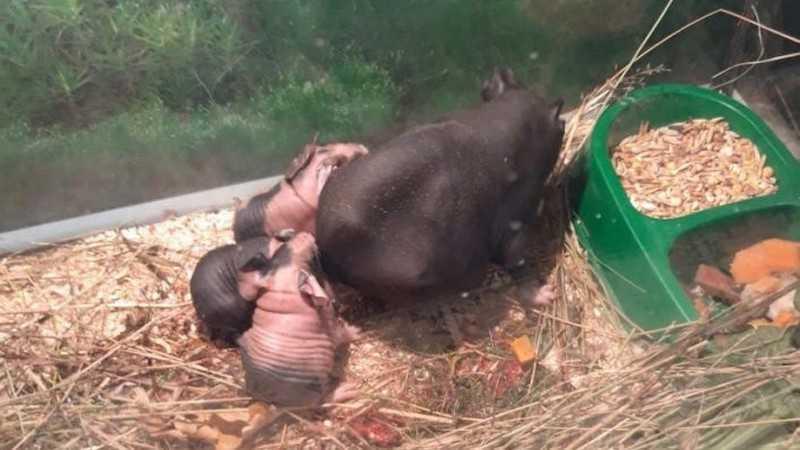 В брянском зоопарке у свинок скинни появилось потомство