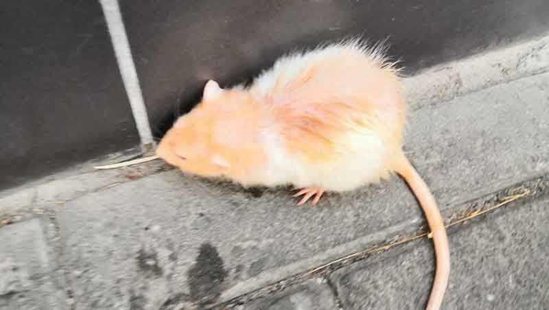 В Клинцах сфотографировали возле ЦУМа светлую крысу