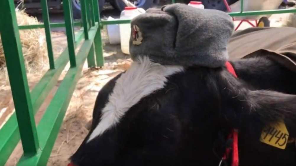 Ушанки на коровах на Свенской ярмарке УФАС признал оскорбительными