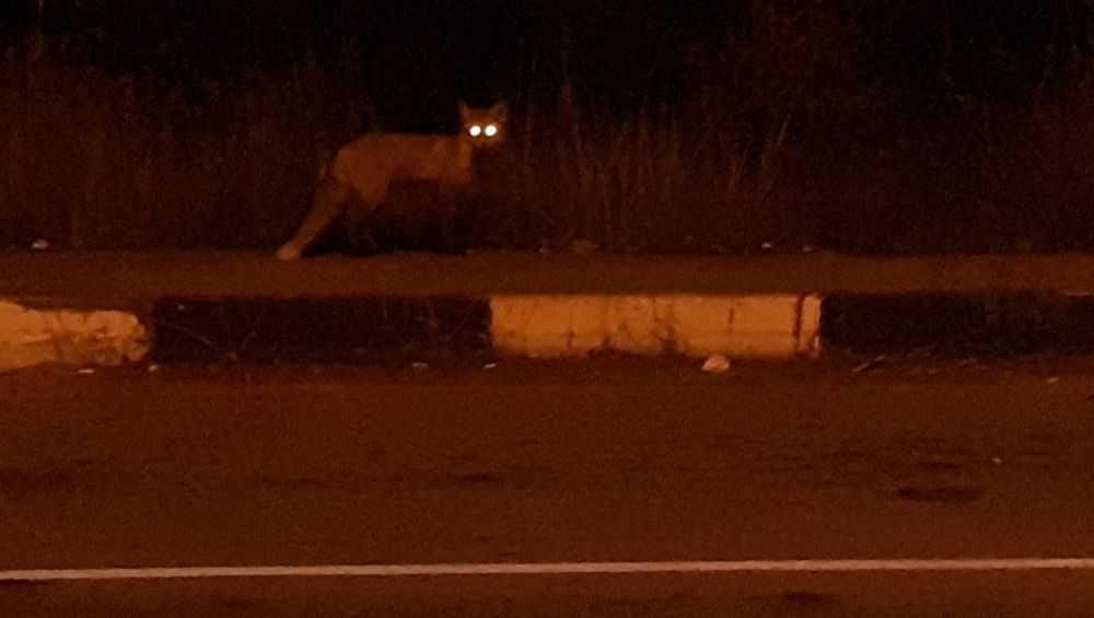 В поселке Свень–Транспортная лисица повадилась кормиться возле людей