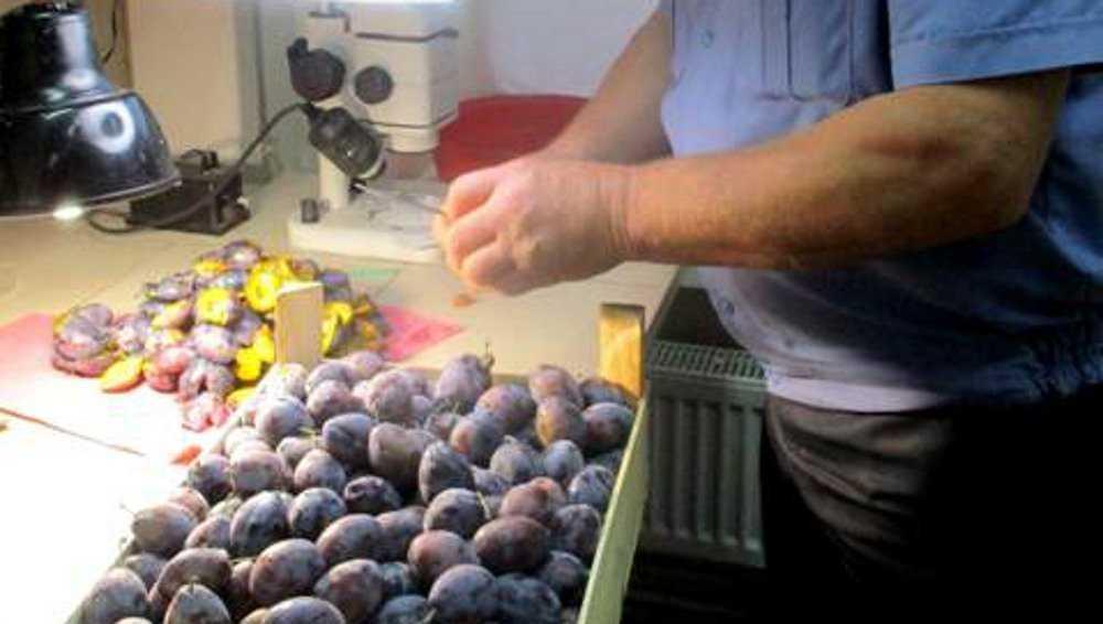В Брянск не пропустили плодожорку, ехавшую в Россию с 20 тоннами слив