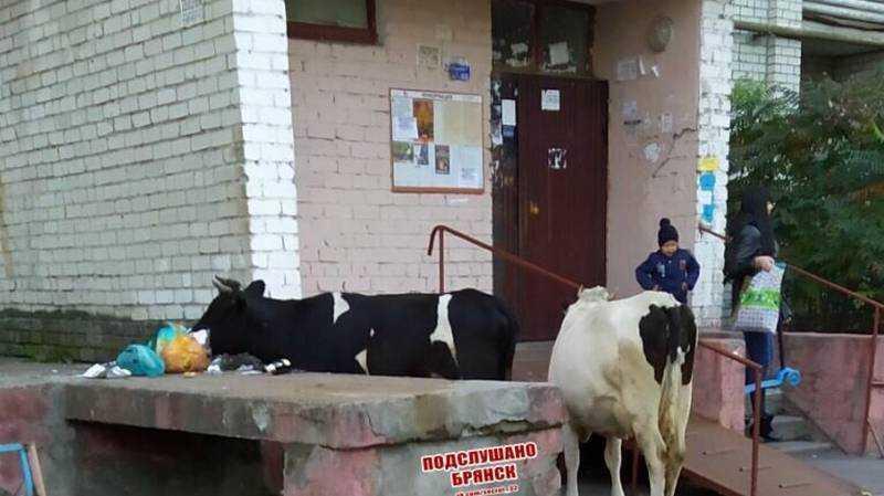 В Брянске коровы пришли на обед к жителям Новостройки