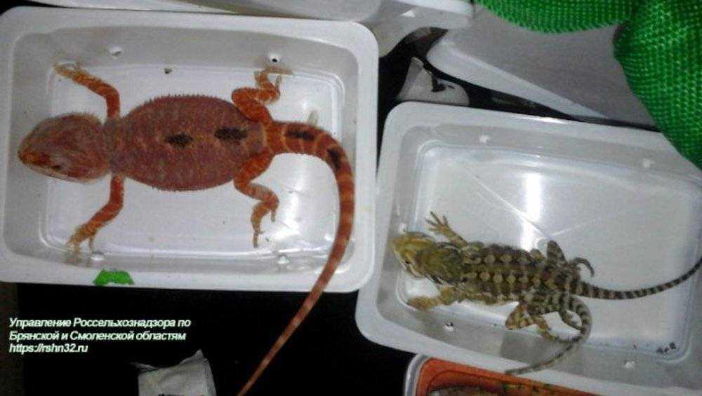 В Брянске ящерицы из Украины были объявлены рептилиями нон грата