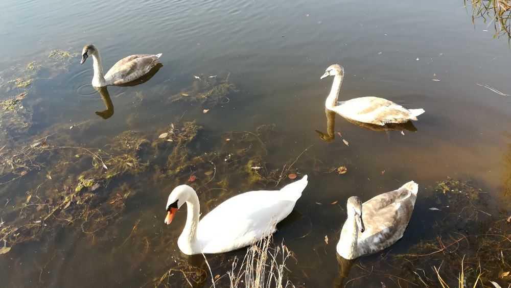 Семью лебедей расстреляли на озере в Дятькове