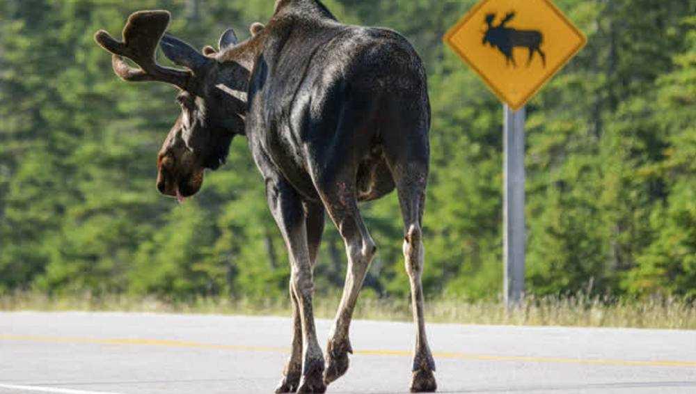 Под Гордеевкой водитель легковушки сбил лося и поранил глаз