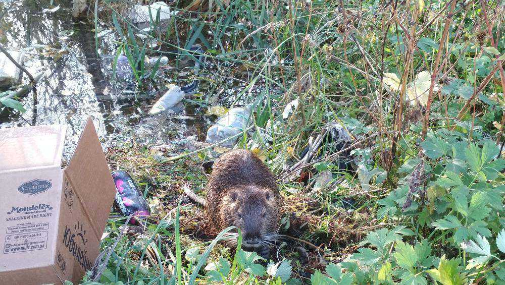 В Брянске среди мусора поселилась дикая нутрия