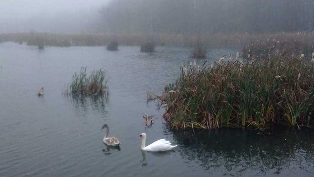 Лебеди Адам и Ева вернулись на озеро в Стародубском районе