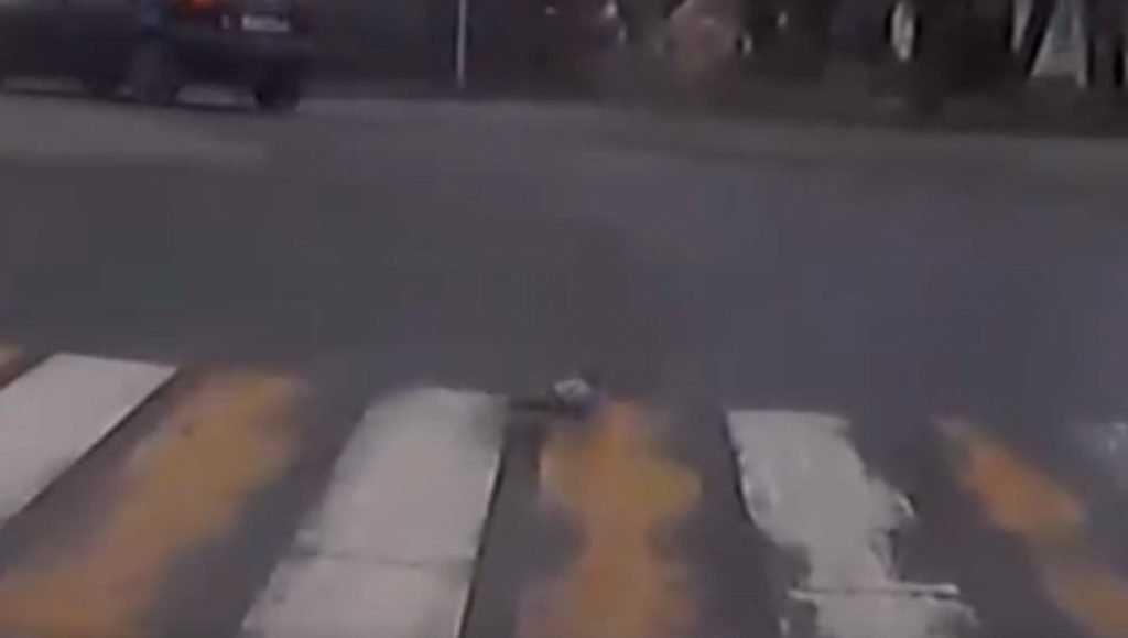 Брянцев позабавил «правильный» голубь на пешеходном переходе