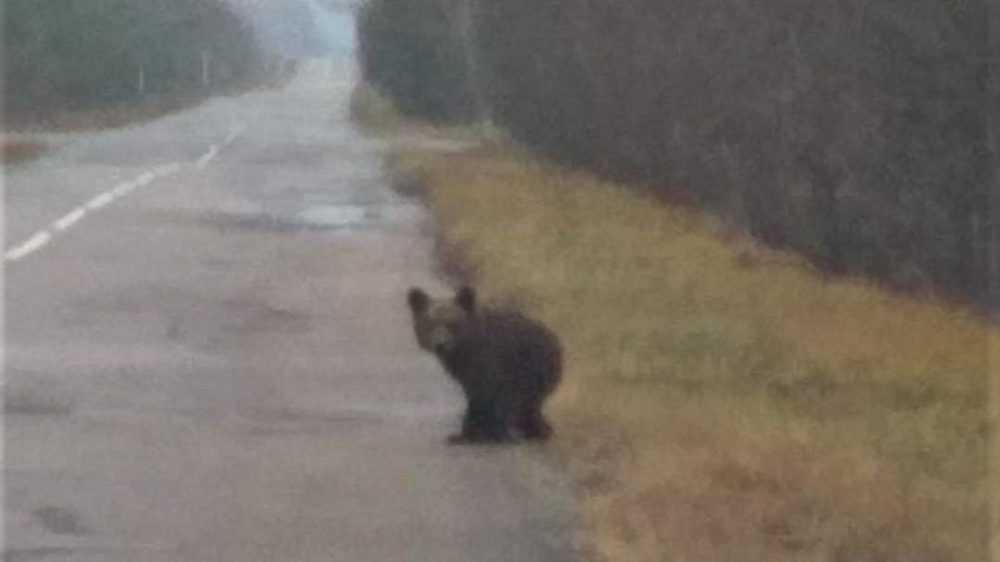 Женщина повстречала одинокого медвежонка в брянском лесу