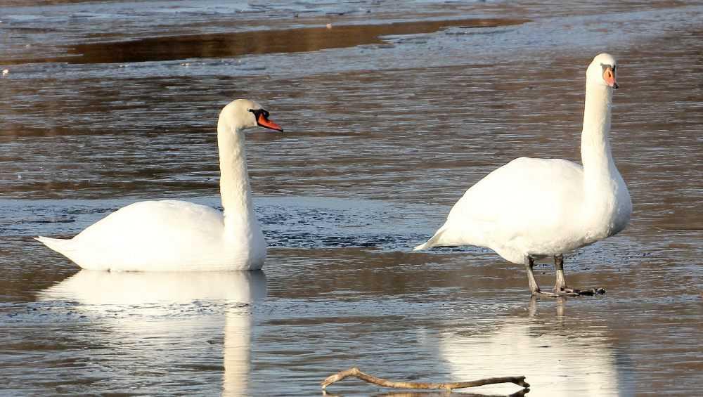 В Суземке погибли оставшиеся зимовать лебеди