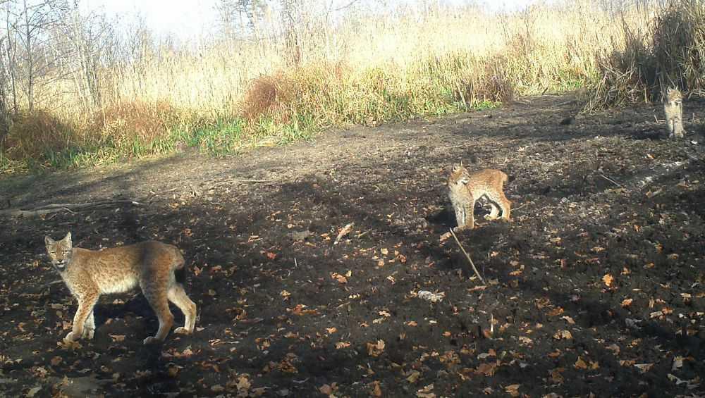 В заповеднике «Брянский лес» сфотографировали семейство рысей