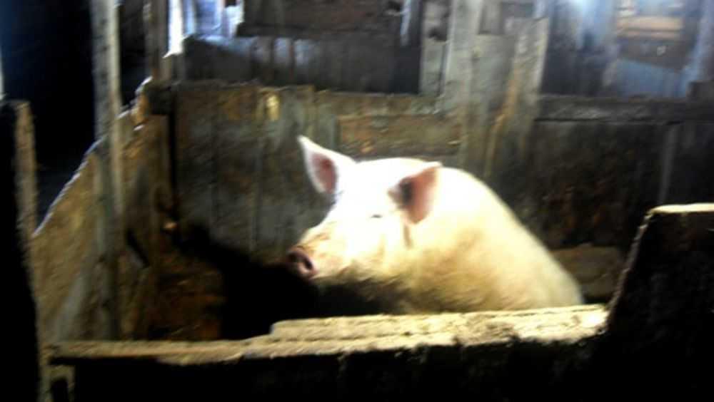 Брянскому фермеру Кукушкину на 20 дней запретили убой свиней