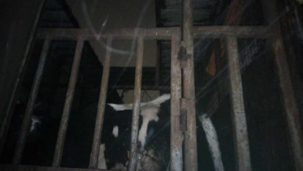 Под Брянском гаишники задержали грузовик с 18 коровами-нелегалами