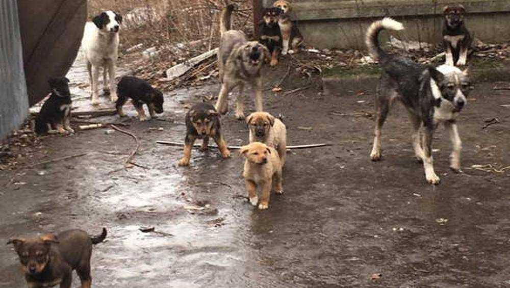 Брянский двор облюбовала стая бродячих собак и щенков
