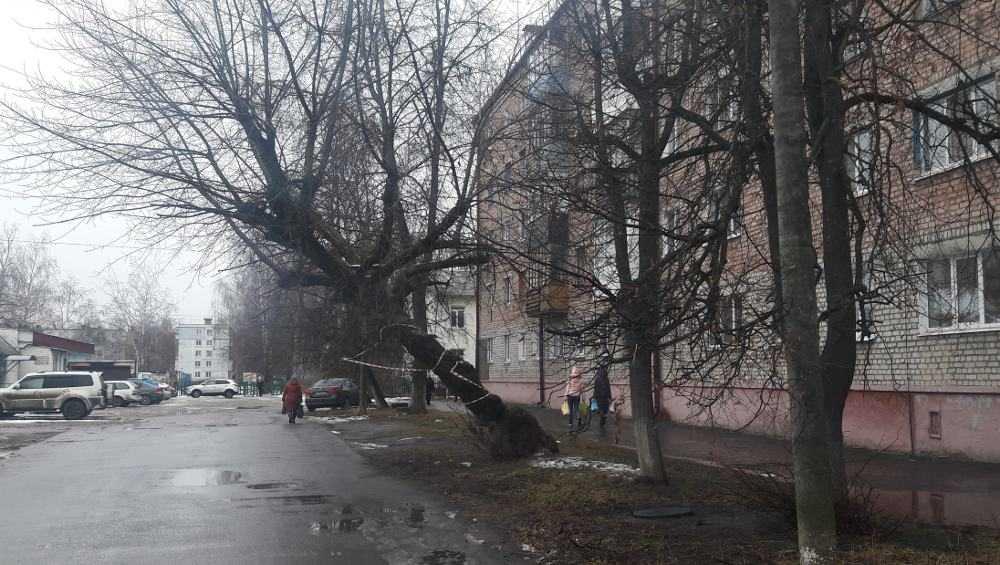 «Полулежачее» дерево в Брянске признали неопасным