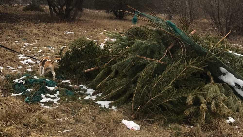 В Брянске нашли еще два кладбища новогодних елок