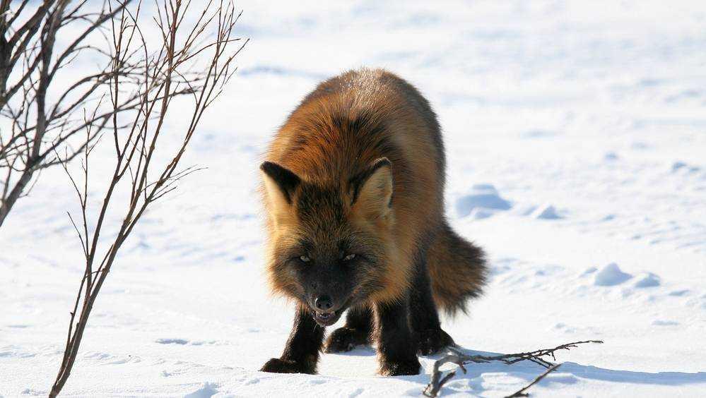 В Брянской области выявили бешенство у двух лис