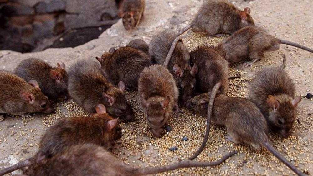 В Брянске полчища крыс окружили детсад