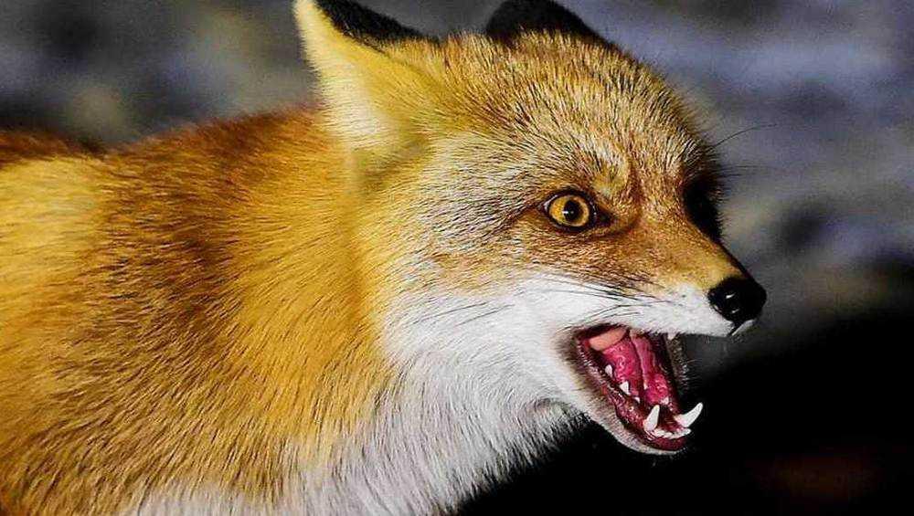 Брянские поселок Белые Берега взяли в осаду бешеные лисы