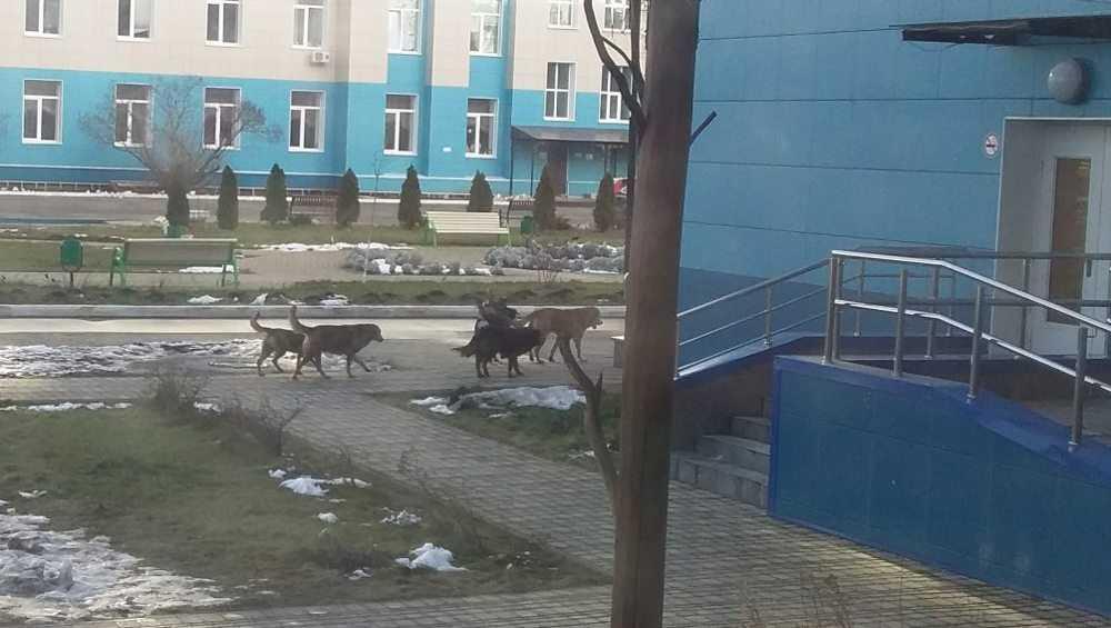 Бездомные собаки в Брянске захватили территорию возле больницы