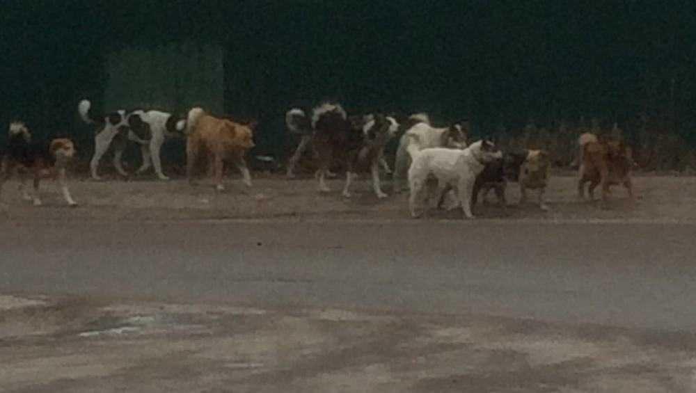 Жителей Клинцов напугала большая стая собак