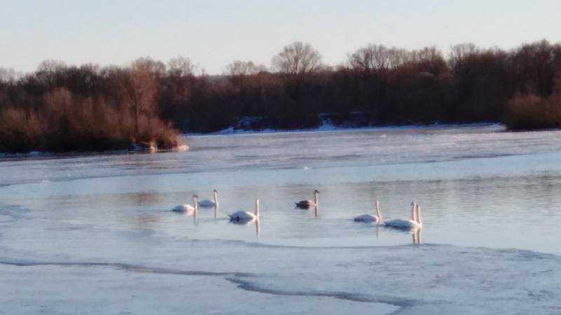 Безграмотных брянцев высмеяли за панику по поводу «голодных» лебедей