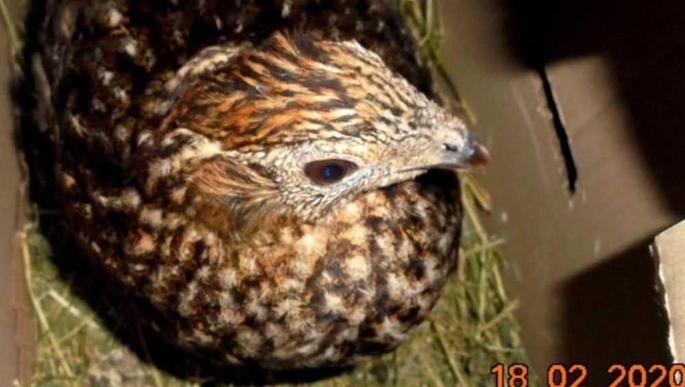 В Суземке молдаванина наказали за фазанов-нелегалов