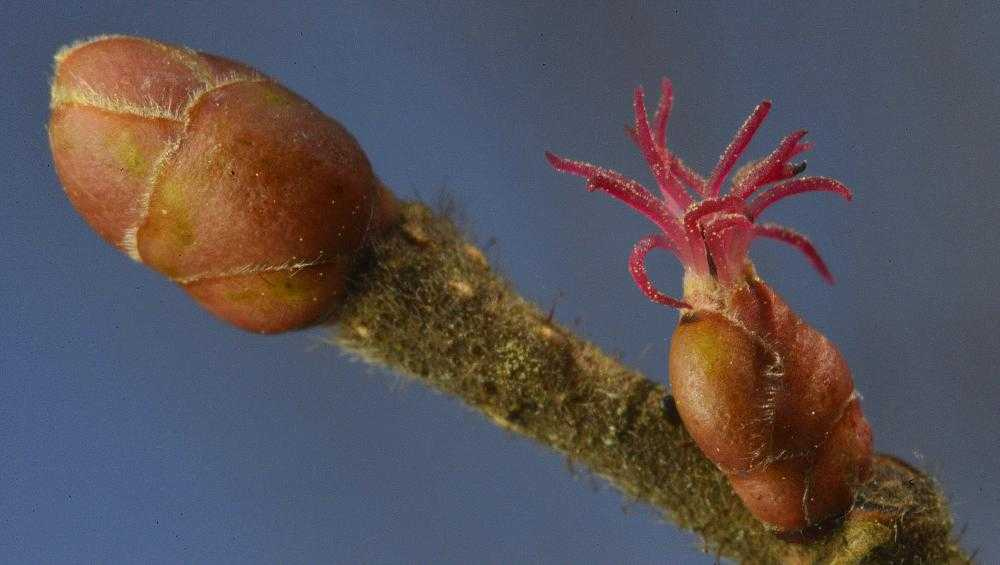 В Брянской области рекордно рано зацвел орешник