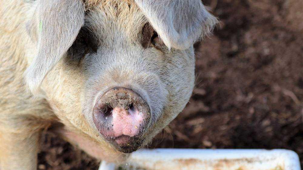 Навлинские чиновники незаконно разрешили строительство свинофермы