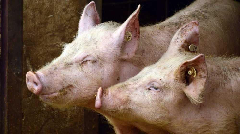 В Жуковском районе за 2,1 млрд рублей построят свинокомплекс