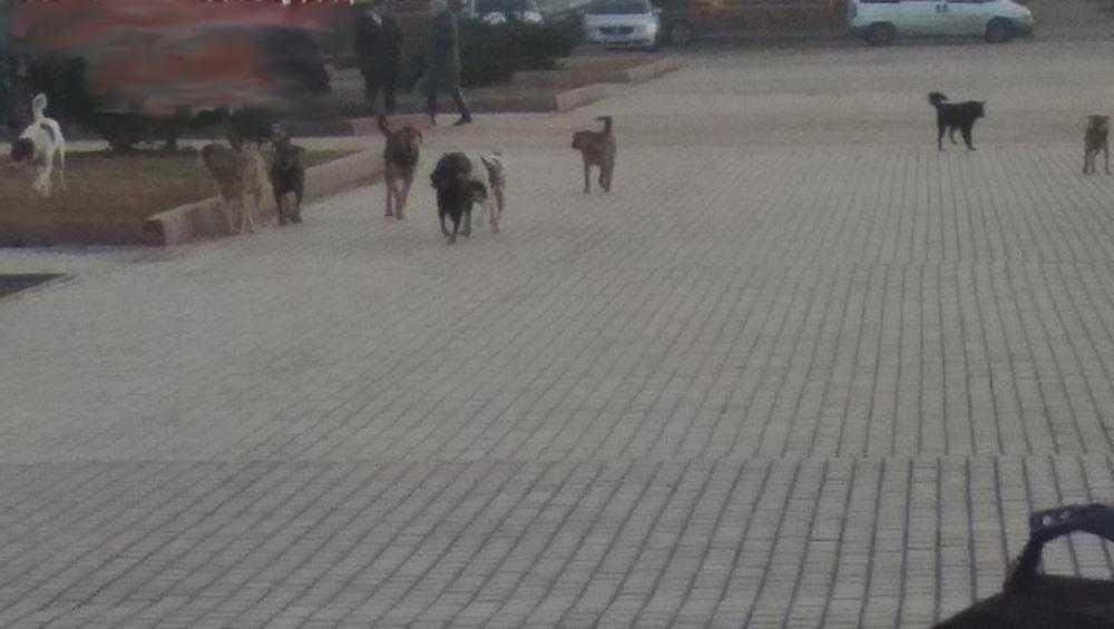 В Брянске бродячие собаки опять напугали прохожих на набережной