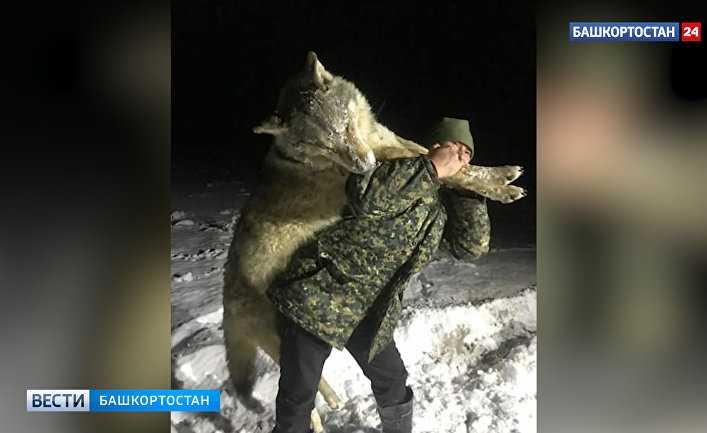 В Великобритании удивились гигантскому волку на юге России