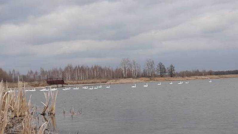 В Брянской области сфотографировали стаю лебедей