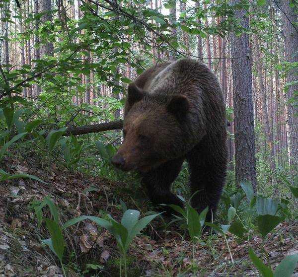 Брянский заповедник опубликовал снимок медведя в ландышах