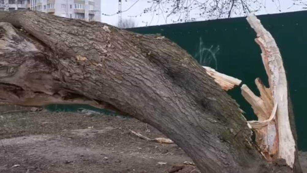 В Фокинском районе Брянска возле ресторана рухнуло дерево