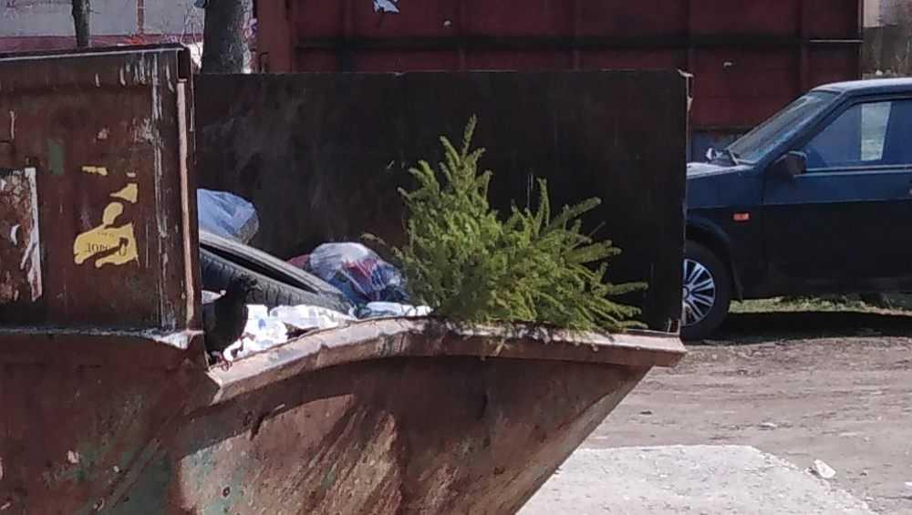 Брянцев развеселила выброшенная в конце марта новогодняя елка